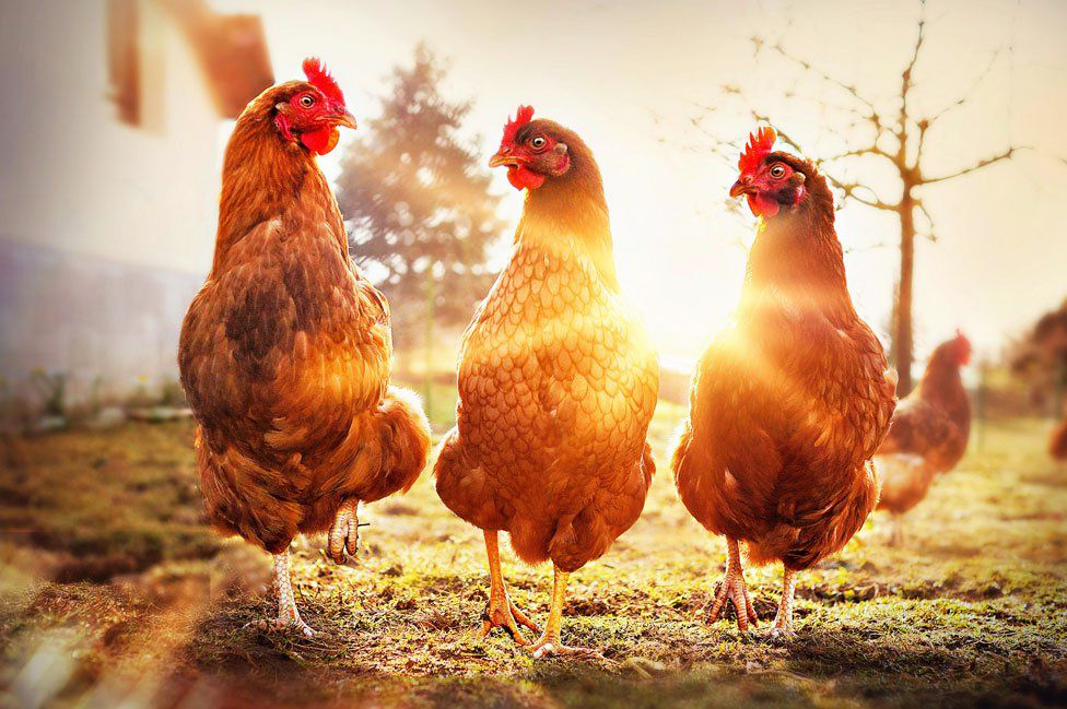 Уровень производства мяса птицы продолжит расти