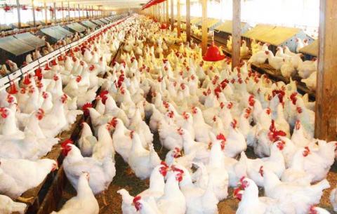 Региональные лидеры убоя птицы снижают объемы производства